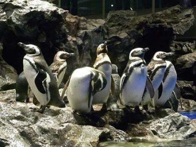 s-ペンギン