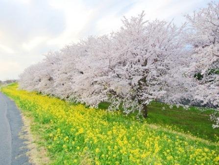 2熊谷桜堤