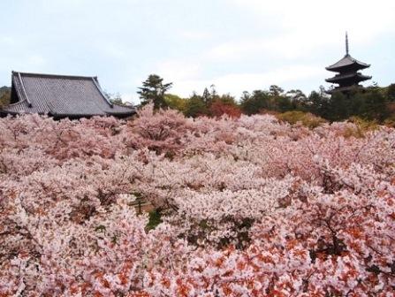 6仁和寺の御室桜