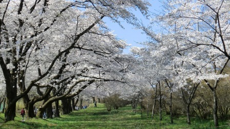6赤城南面千本桜